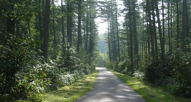 Lærketræ skov fra Aakjærskovende ved odder