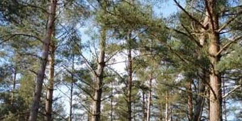 Skovfyr til plankeborde